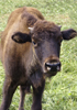 Baby cow of the bison genus